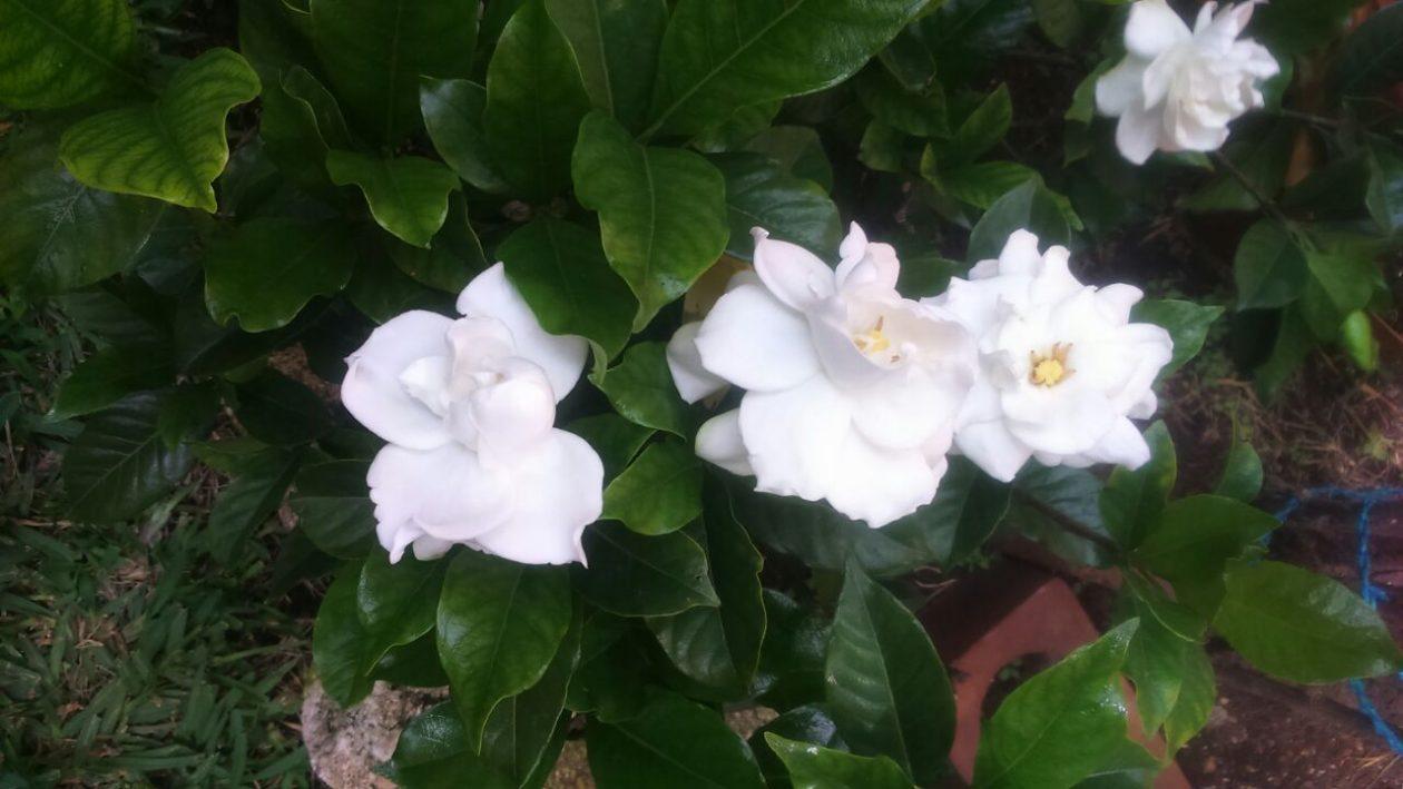 Gardenia Creciendo